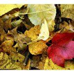 Devils Lake leaves