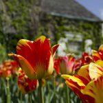 Boerner-Tulips